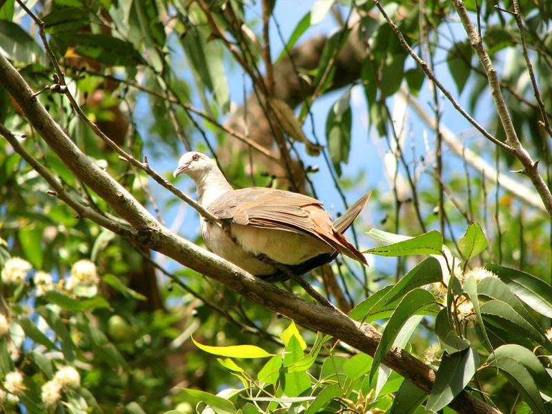 Die Mauritianische Rosa Taube
