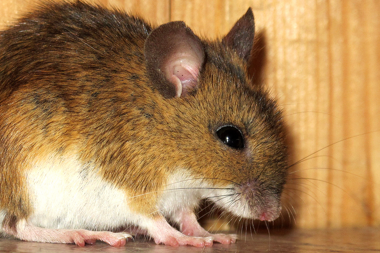 Die Maus