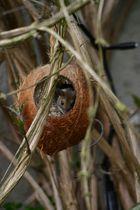 Die Maus der Kokosnuss 1