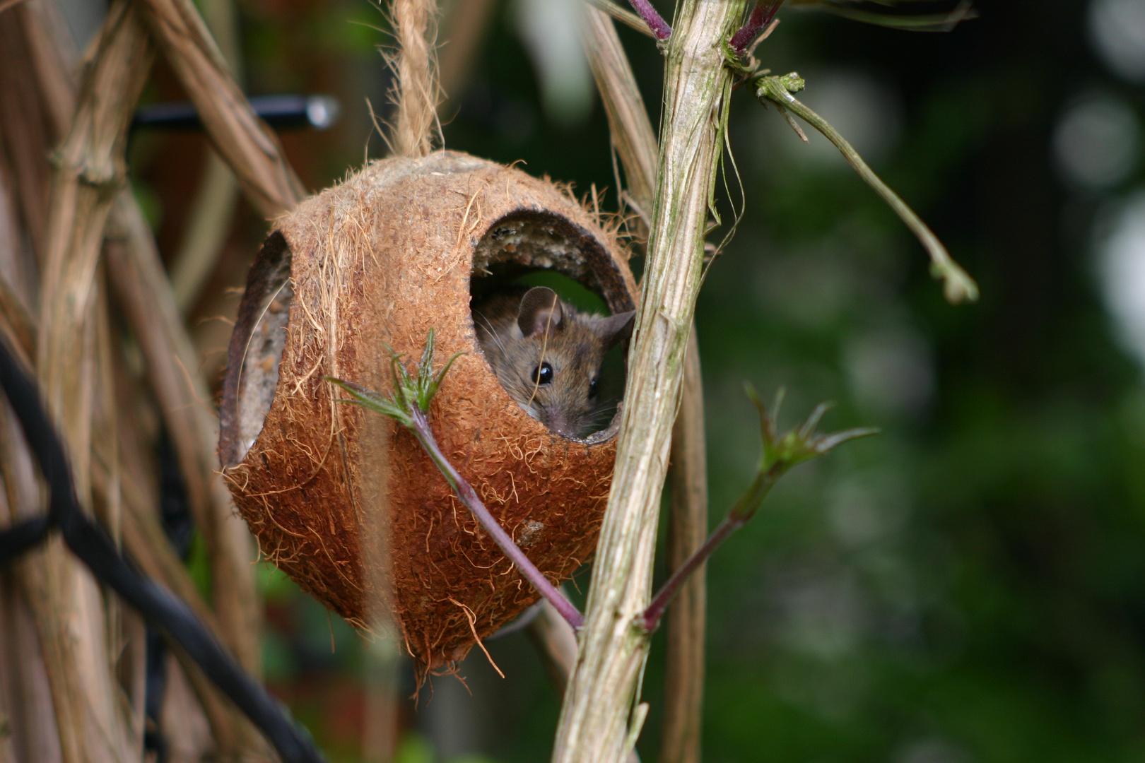Die Maus der Kokosnuss 2