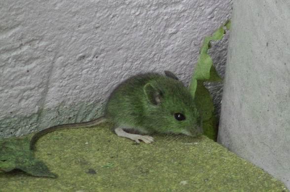 Die Maus der schlecht wurde
