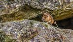 Die Maus in Nachbar's Garten