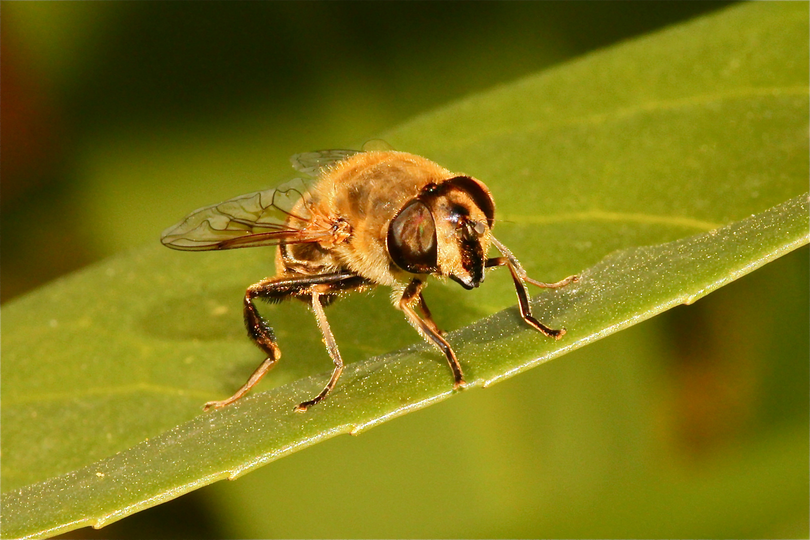 Die Mistbiene - Bild 1 von 7