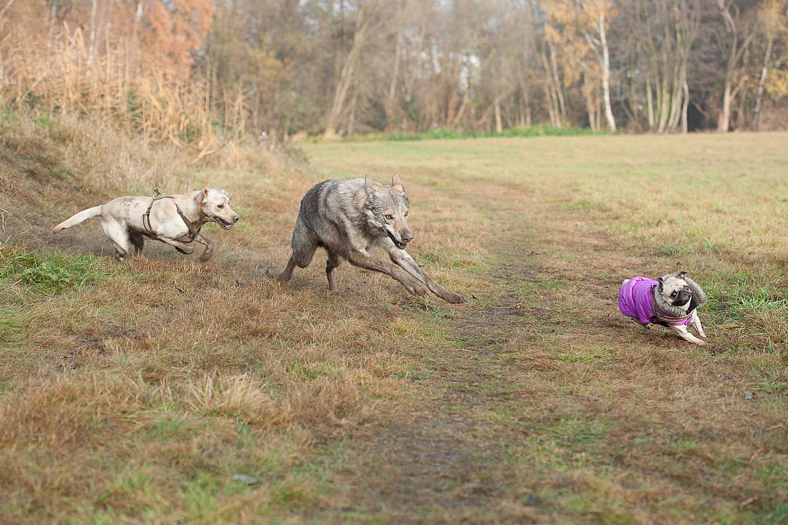 Die mit dem Wolf laufen