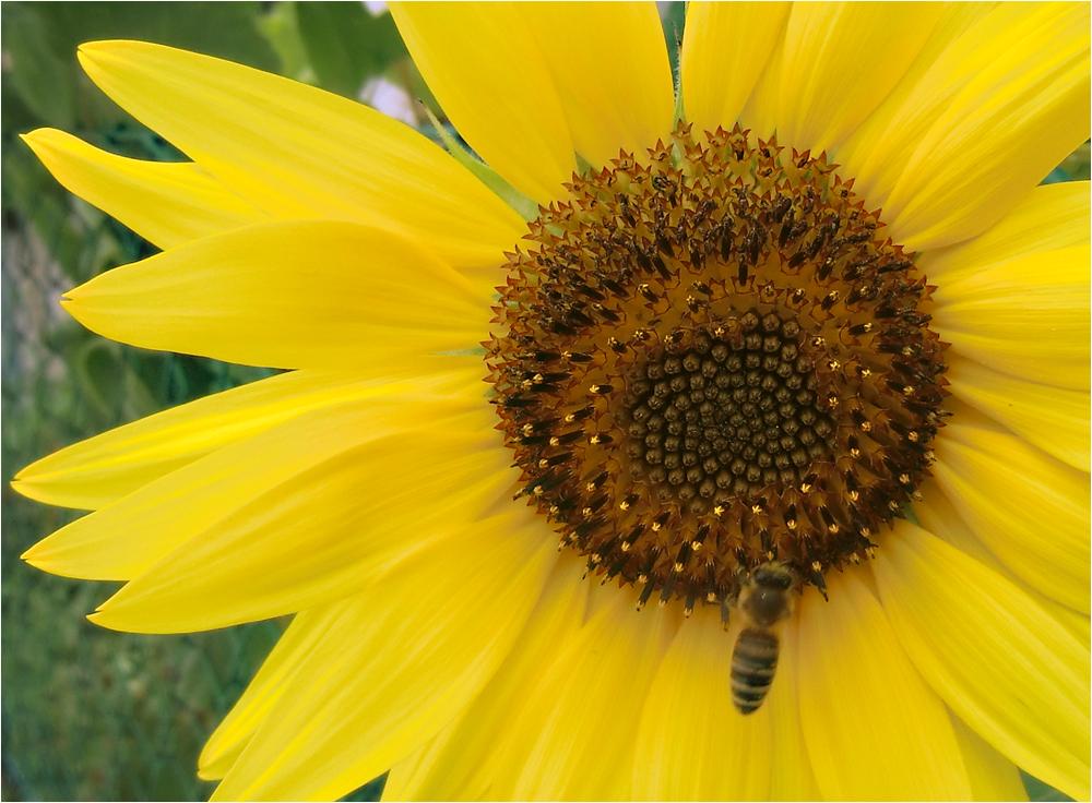 die mit der Biene