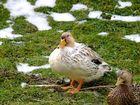 Die Model-Enten
