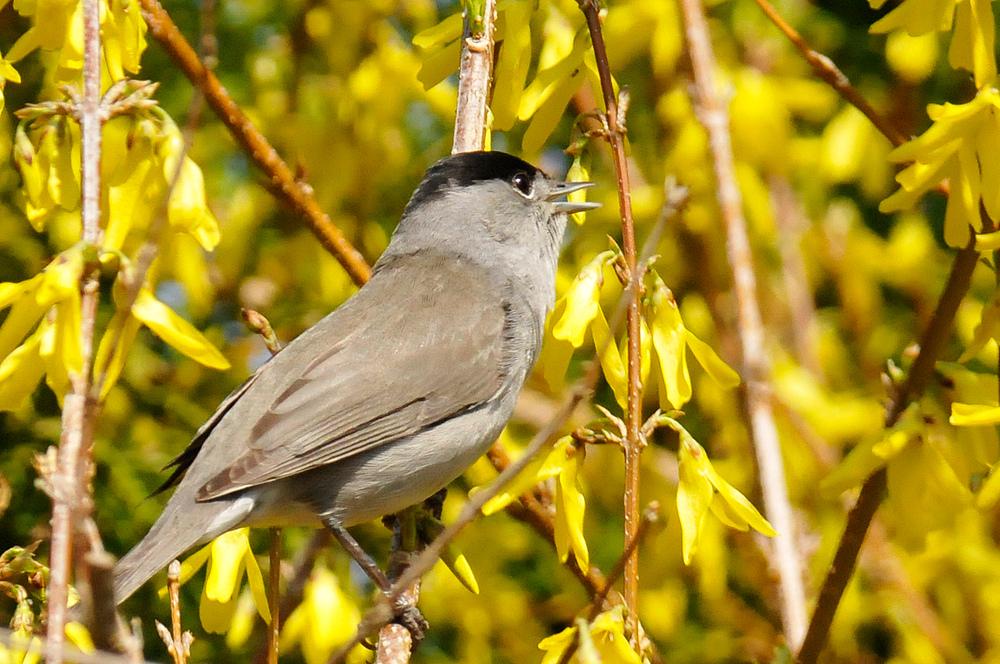 Die Mönchgrasmücke und sein Frühlingslied