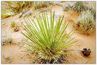 Die Mojave Yucca - Arizona, USA