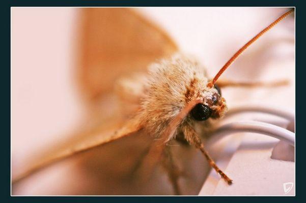 .die Motte