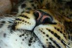 die Nase des Leoparden