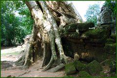 Die Natur kämpft mit der mehr als 1000 Jahre alten Khmer- Kultur