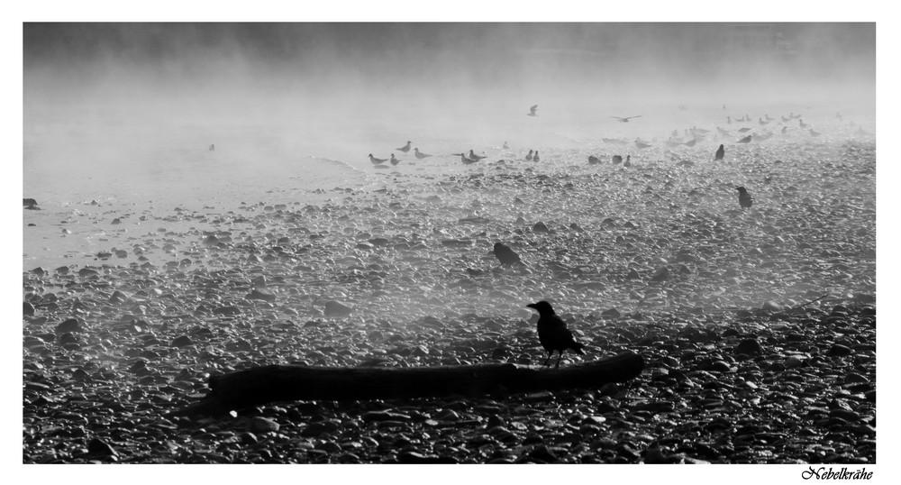 Die Nebelkrähe