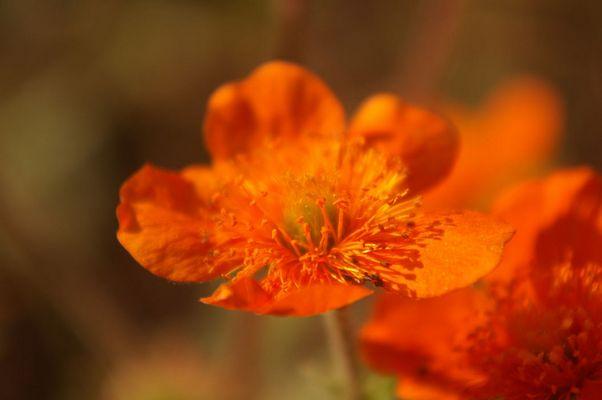 Die Nelkenwurz besticht in herrlichem Orange