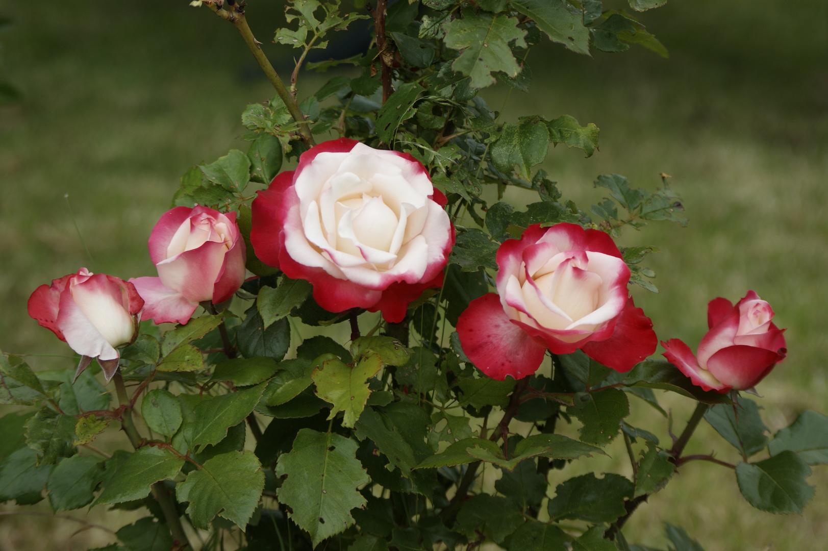 Die neue Rose