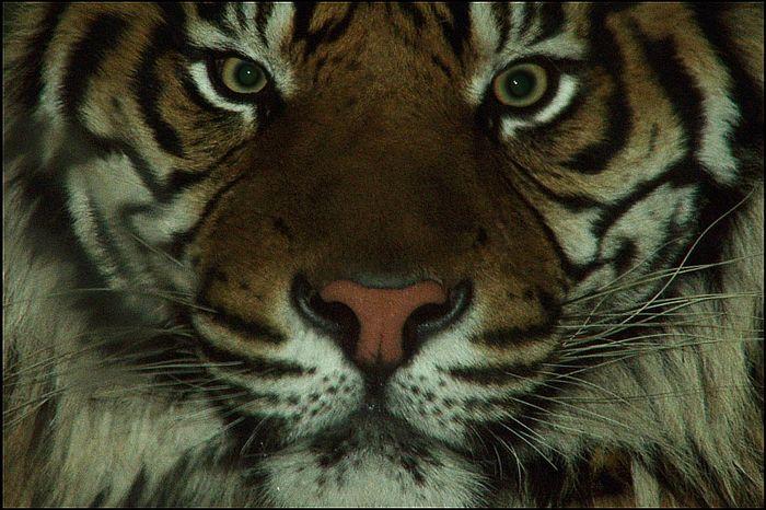 Die Neue Tigerin (Aceh) im Augsburger Zoo