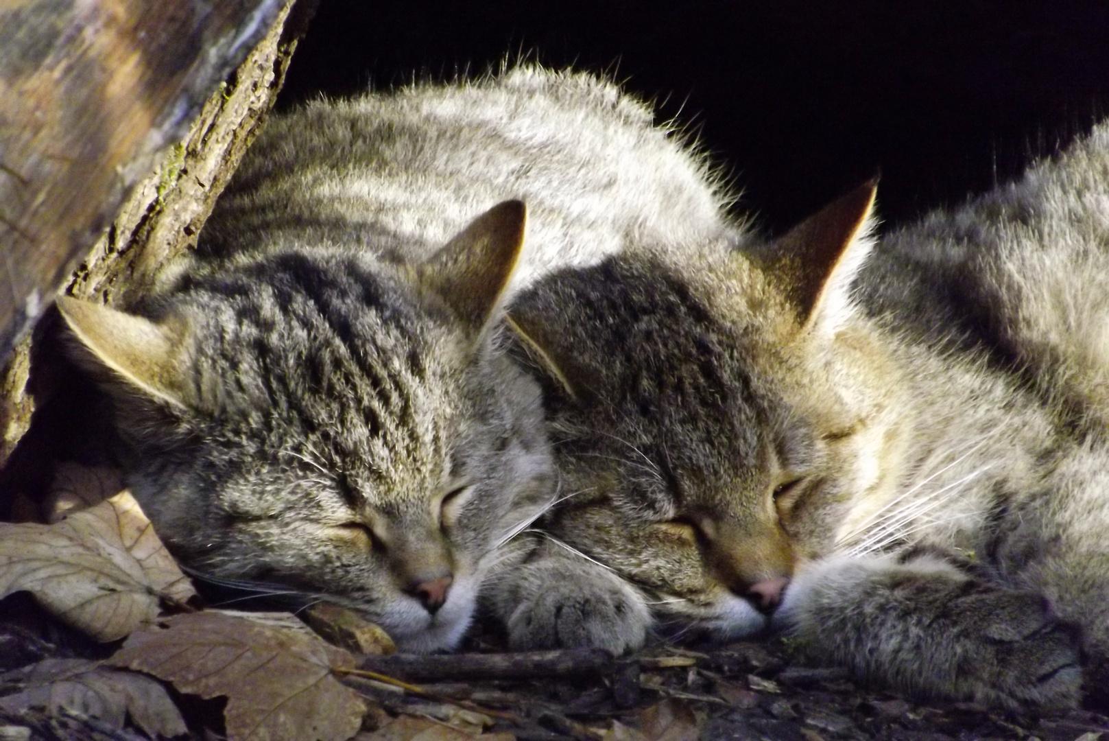 Die neuen Wildkatzen
