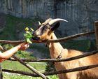 Die neugierige Ziege