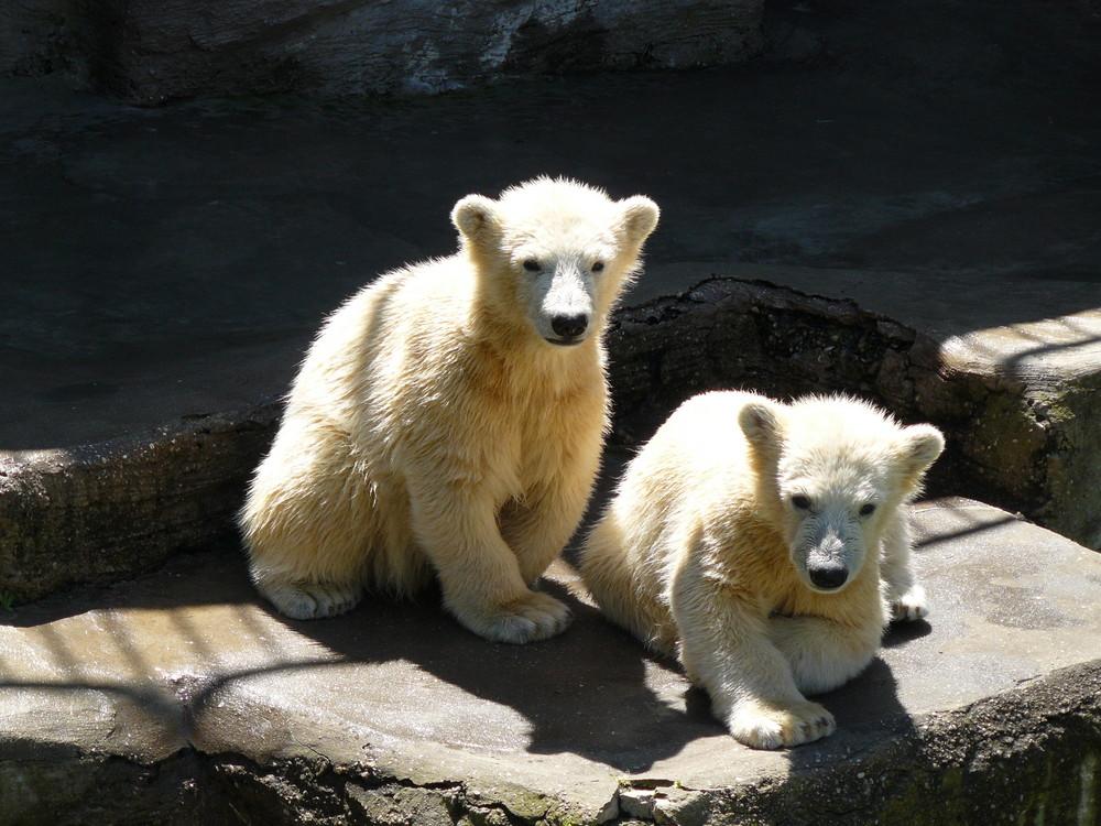 Die neugierigen Eisbärzwillinge