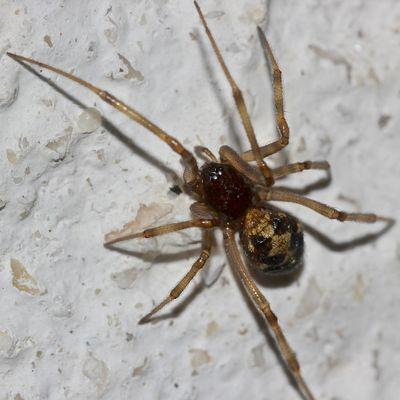 Die nicht häufige Spinne STEATODA TRIANGULOSA, ...