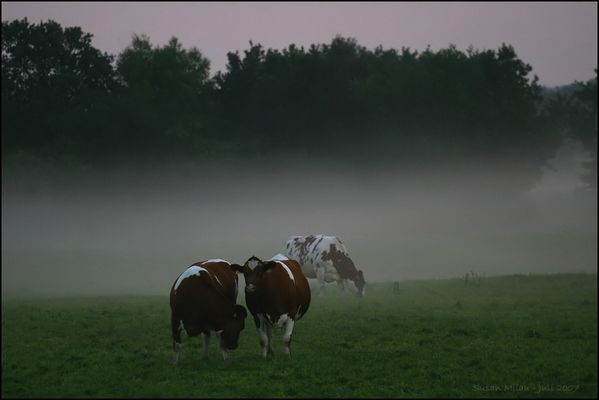 Die Norddeutsche Antwort auf Dian Fossey - Kühe im Nebel