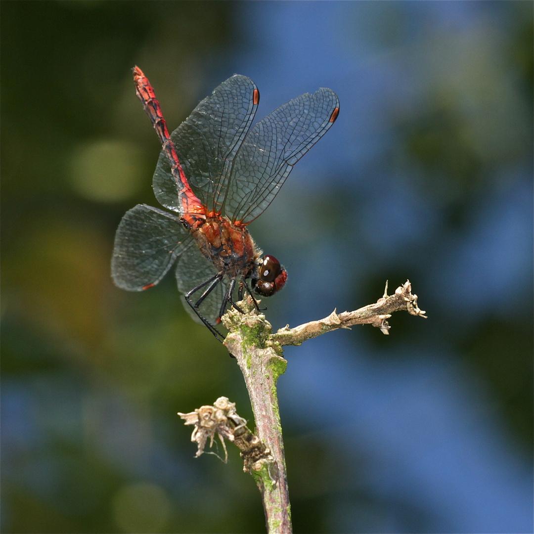 Die Obelisk-Haltung des Männchens der Blutroten Heidelibelle (Sympetrum sanguineum) . . .