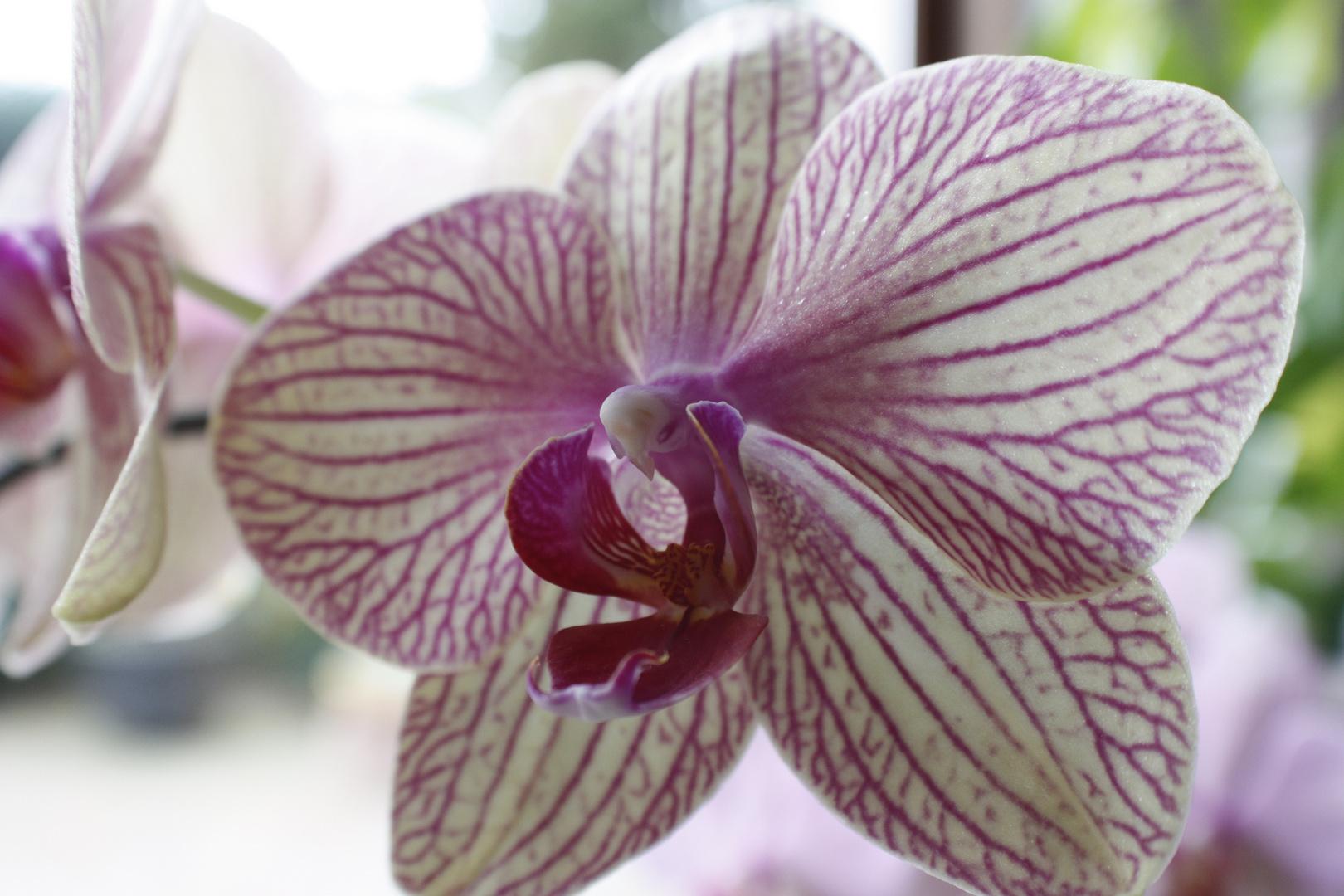 DIE Orchidee
