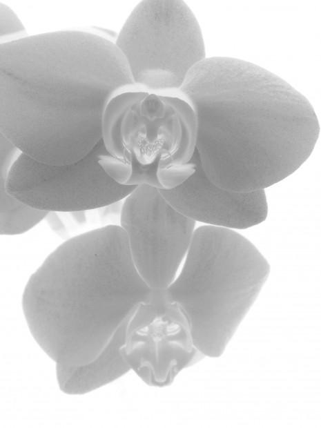 Die Orchidee in weiß