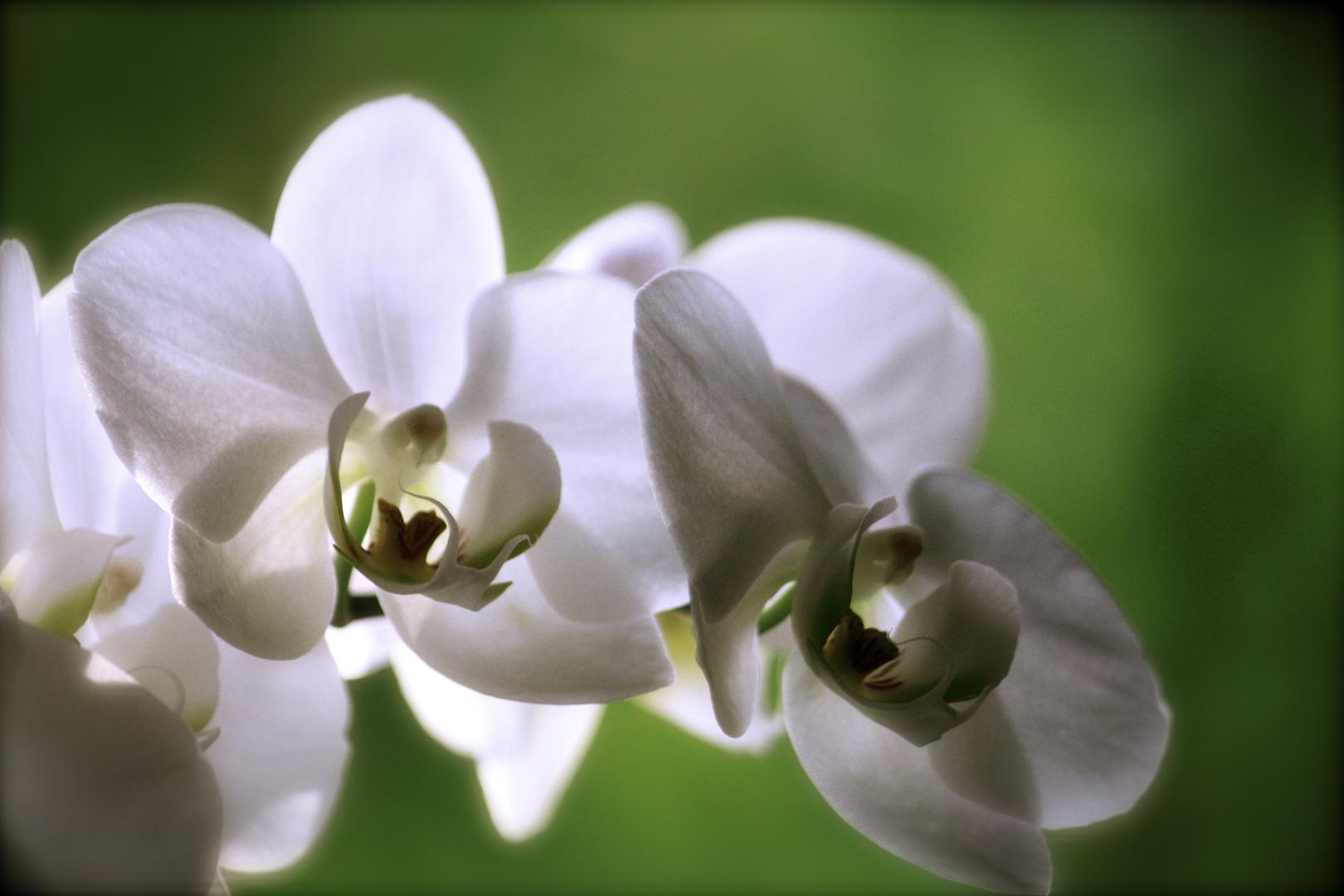 die Orchidee / la Orquídea
