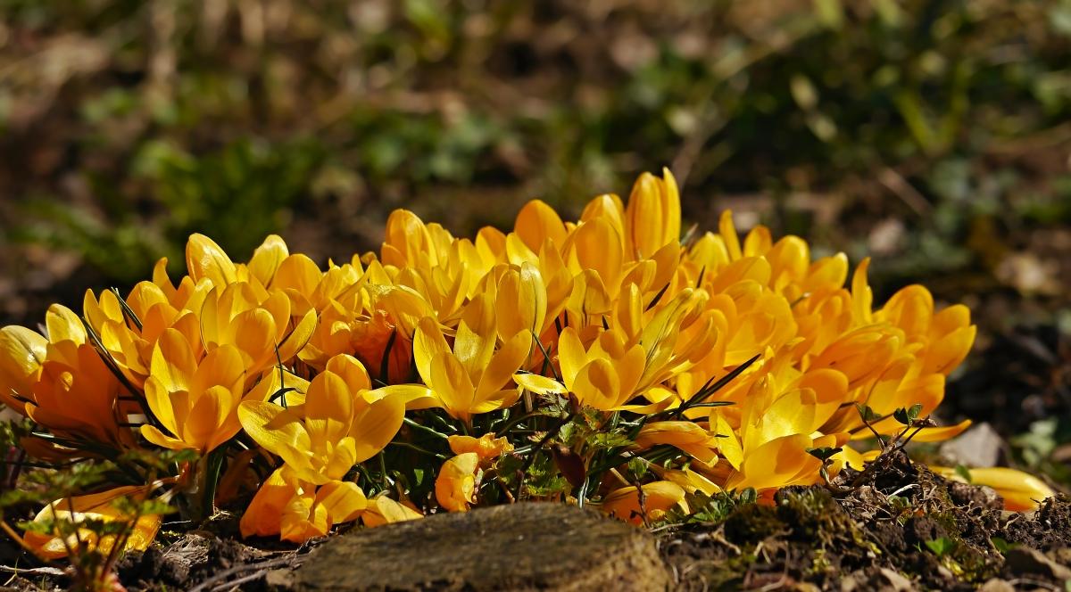 die Orgie der gelben Krokusse