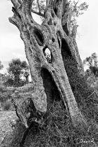 """Die """"Orks"""" unter den Bäumen - Olivenhaine auf Mallorca"""