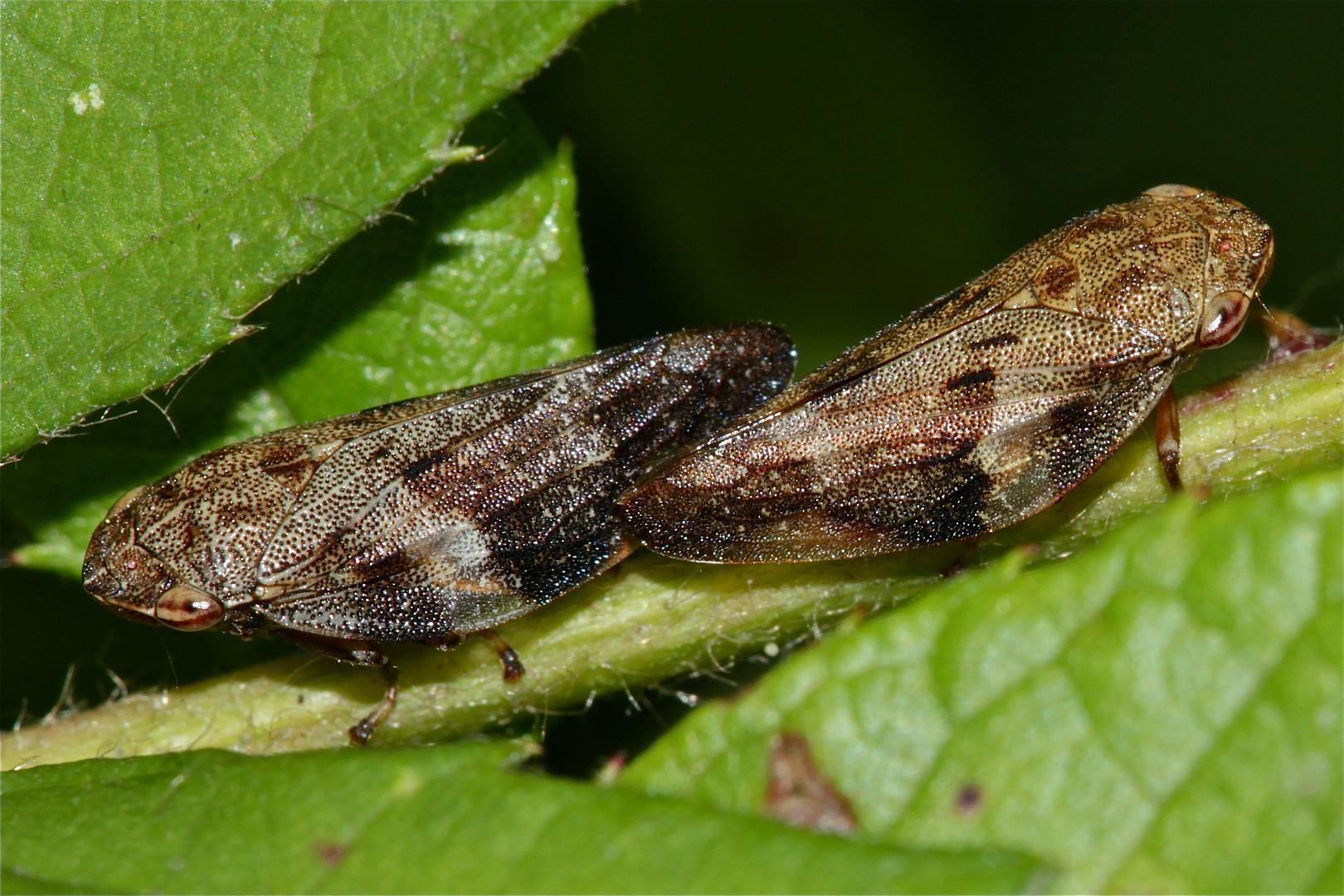 Die Paarung der Erlen-Schaumzikade (Aphrophora alni), zur Familie der Cercopidae gehörig.