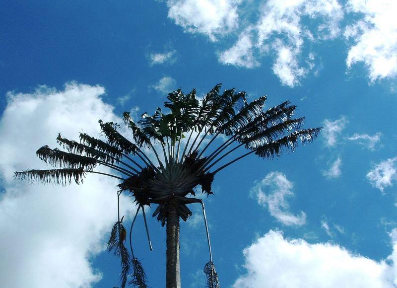Die Palme des Reisenden