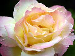 Die Peace - Rose...