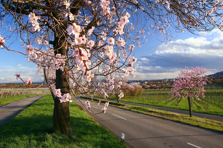 Die Pfalz im Blütenrausch II