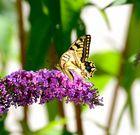 Die Pflanze heisst auch Schmetterlingsflieder