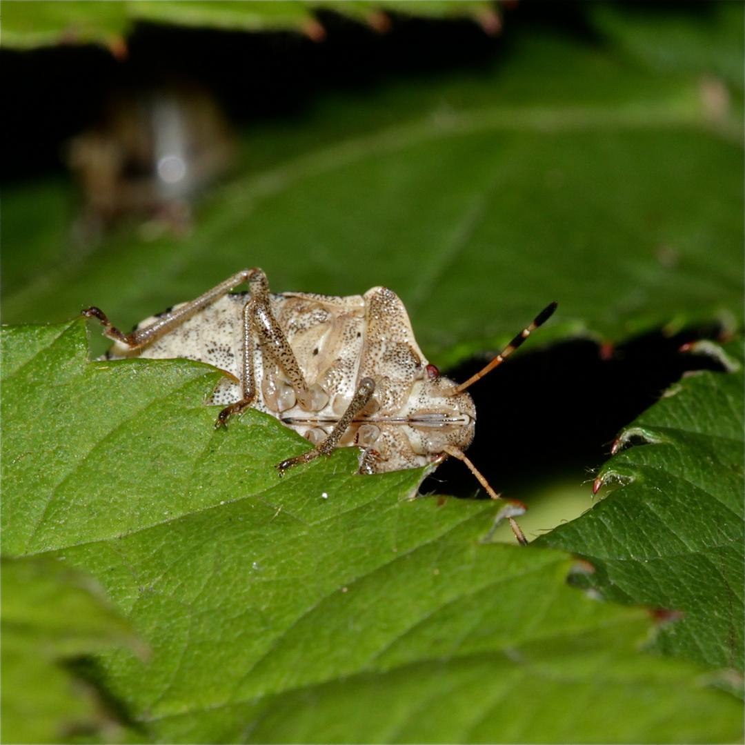 Die Pflanzensaft saugende Wanze PERIBALUS STRICTUS kommt aus ihrem Versteck hervor