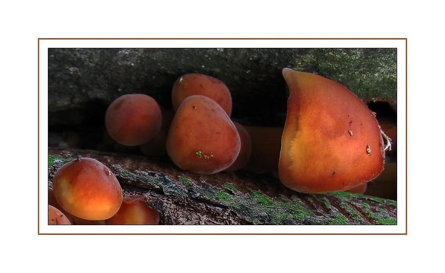 Die Pilzlinge