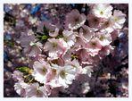 Die pralle Lust - Japanische Blütenkirsche