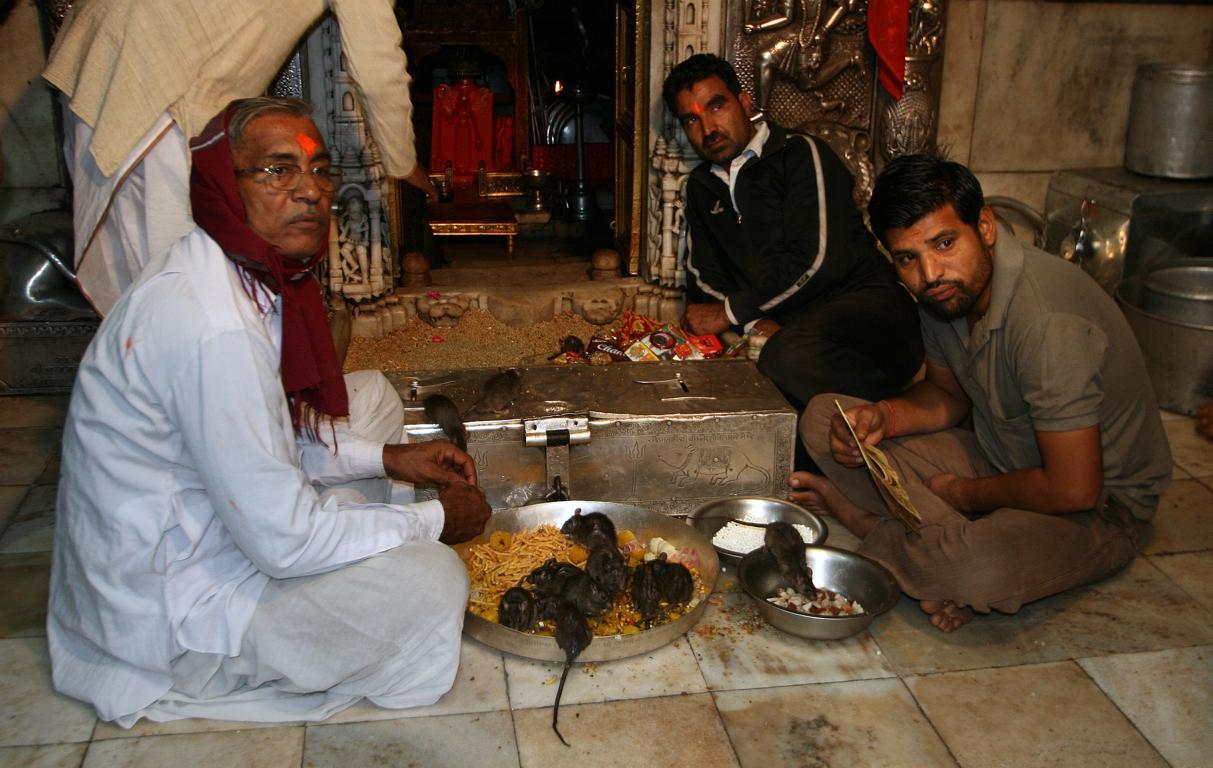 die Priester des Deshnok-Karni-Mata-Tempel (Rattentempel)