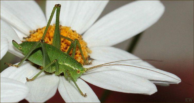 die 'Punktierte Zartschrecke' (Leptophyes punctatissima) - Weibchen -...