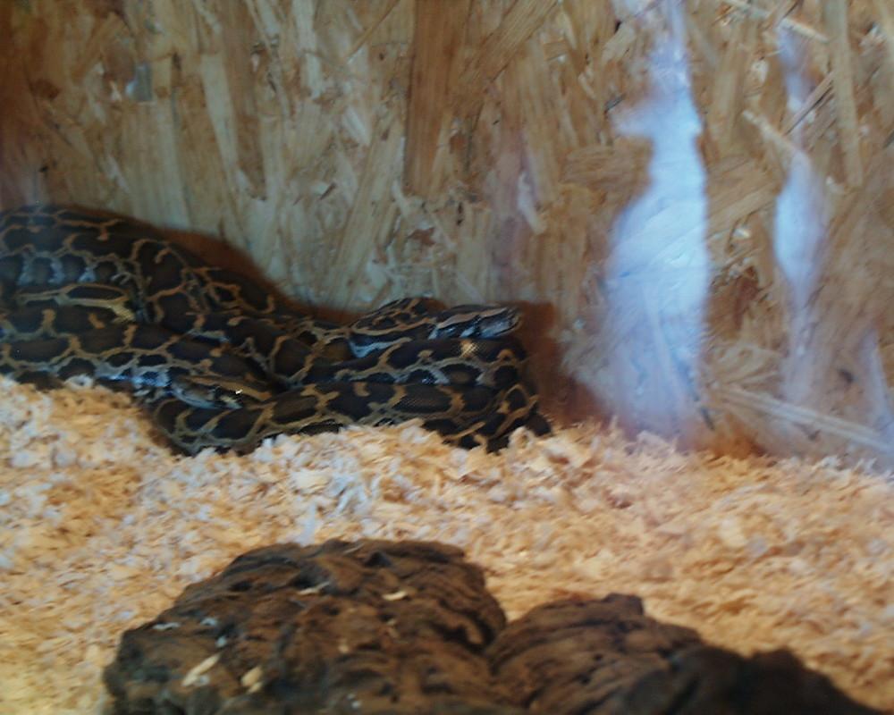 Die Pythonschlange