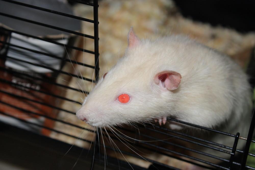 Die Ratte mit den glühenden Augen