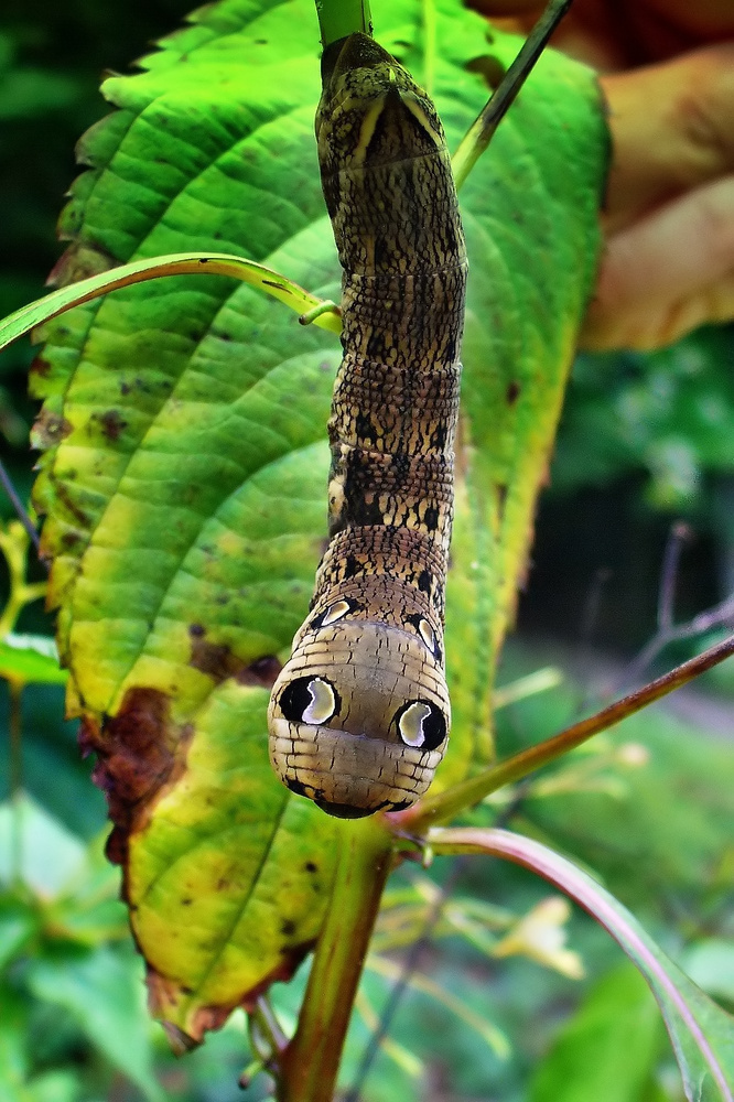 die Raupe mit den grossen Augen