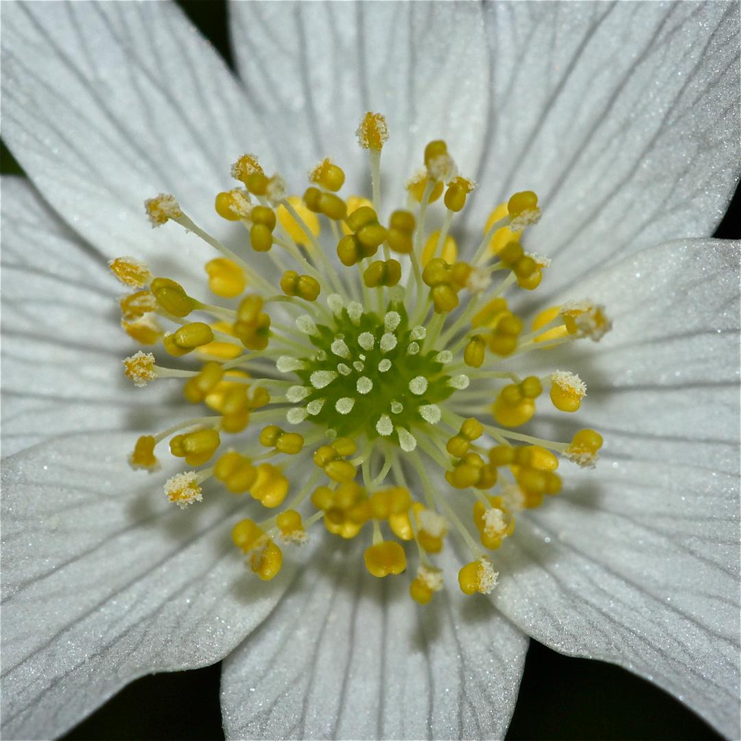 Die Reinheit der Natur - ein Buschwindröschen (Anemone nemorosa)