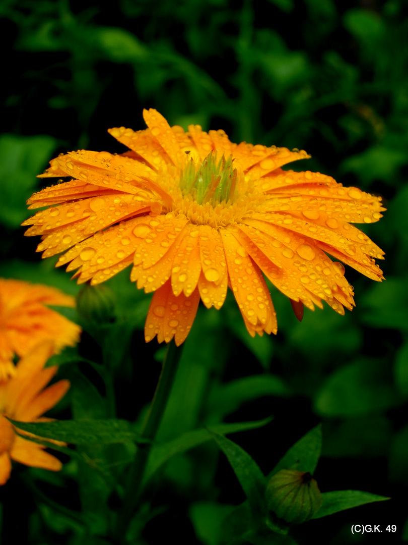 Die Ringelblume nach dem Regenschauer !