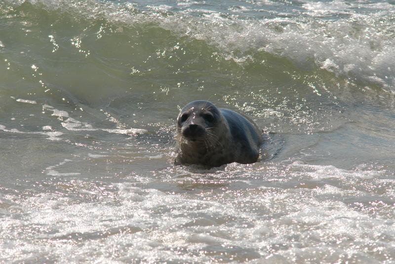 Die Robbe in der Meeresbrandung