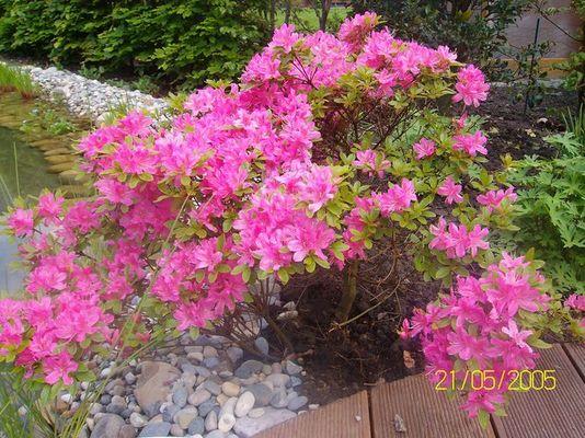 Die rosane Pflanze am Teich