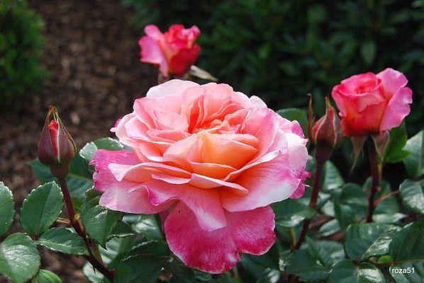 die Rose:)