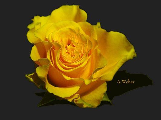 Die Rose
