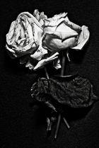 Die Rose als Plagiat oder.....